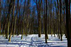 Foresta di inverno degli alberi nudi con muschio Fotografia Stock Libera da Diritti