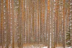 Foresta di inverno del pino - circuiti di collegamento degli alberi Fotografie Stock