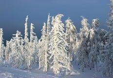 Foresta di inverno di mattina Immagini Stock