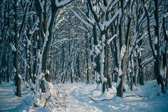 Foresta di inverno di tramonto Fotografia Stock
