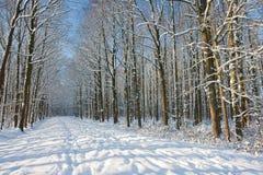 Foresta di inverno nei Paesi Bassi Immagine Stock