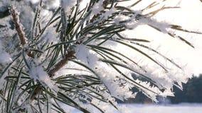 Foresta di inverno in neve I bei aghi attillati verdi sono coperti di brina nel parco dell'inverno c'è un forte archivi video