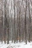 Foresta di inverno: primo piano dei tronchi di albero alto fotografia stock libera da diritti