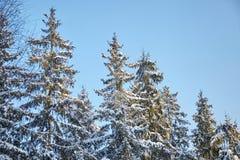 Foresta di inverno, ramo attillato verde coperto di neve, abeti immagini stock libere da diritti