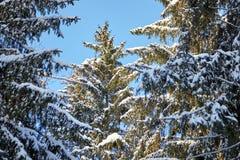 Foresta di inverno, ramo attillato verde coperto di neve, abeti, giorno soleggiato immagini stock