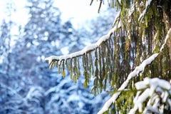 Foresta di inverno, ramo attillato verde coperto di neve, albero di abete fotografie stock libere da diritti