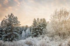 Foresta di inverno di sera Fotografia Stock Libera da Diritti