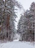 Foresta di inverno di Snowy con i bei tronchi dei pini e della strada innevata fotografia stock libera da diritti