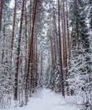Foresta di inverno di Snowy con una linea di bei tronchi di pino lungo un percorso nevoso fotografie stock