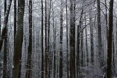 Foresta di inverno, tronchi e rami di albero coperti di neve bianca fotografia stock