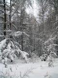 Foresta di inverno in Yakutia Immagine Stock Libera da Diritti