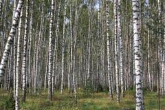 Foresta di legno di betulla Immagine Stock