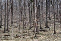 Foresta di legno duro centrale degli Stati Uniti Immagini Stock