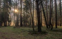 Foresta di mattina Fotografie Stock Libere da Diritti