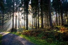 Foresta di mattina Fotografia Stock Libera da Diritti