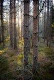 Foresta di mattina Immagine Stock