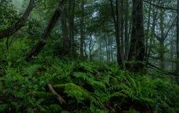 Foresta di mistero Fotografia Stock