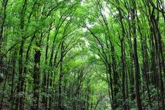 Foresta di mogano artificiale di Loboc e di Bilar, Filippine fotografia stock