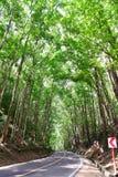 Foresta di mogano artificiale di Loboc e Bilar in Filippine fotografie stock