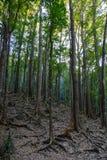 Foresta di mogano sull'isola di Bohol, Filippine immagine stock