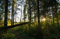 Foresta di Mosca Fotografia Stock