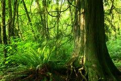 Foresta di nord-ovest pacifica Immagine Stock Libera da Diritti