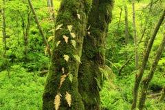 Foresta di nord-ovest pacifica Fotografia Stock