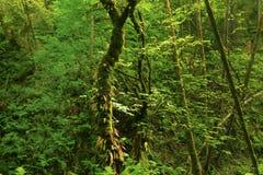 Foresta di nord-ovest pacifica Fotografie Stock Libere da Diritti
