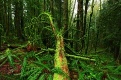 Foresta di nord-ovest pacifica Fotografie Stock