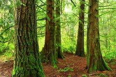 Foresta di nord-ovest pacifica Fotografia Stock Libera da Diritti