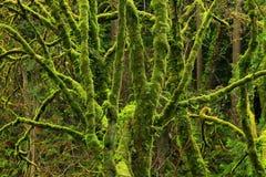 Foresta di nord-ovest pacifica con gli alberi di acero della vite Immagine Stock