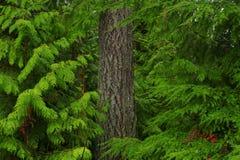 Foresta di nord-ovest pacifica con gli alberi misti di una conifera Fotografie Stock