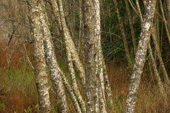 Foresta di nord-ovest pacifica con gli alberi di ontano rosso Fotografie Stock Libere da Diritti