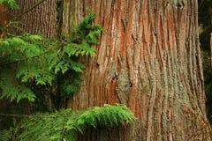 Foresta di nord-ovest pacifica con un albero di cedro giallo d'Alasca Fotografie Stock Libere da Diritti