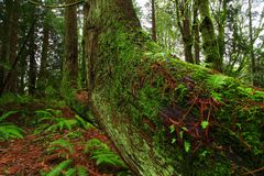 Foresta di nord-ovest pacifica con un albero di cedro rosso occidentale di vecchia crescita Fotografia Stock