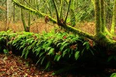 Foresta di nord-ovest pacifica e grandi alberi di acero della foglia Immagini Stock