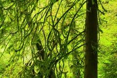 Foresta di nord-ovest pacifica ed alberi di cedro rosso occidentali Fotografia Stock Libera da Diritti