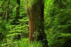 Foresta di nord-ovest pacifica ed albero di cedro rosso occidentale Fotografia Stock Libera da Diritti