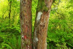 Foresta di nord-ovest pacifica ed albero del tasso pacifico Immagini Stock Libere da Diritti