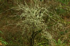 Foresta di nord-ovest pacifica ed albero di salice pacifico Fotografia Stock Libera da Diritti