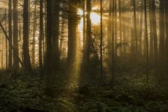 Foresta di nord-ovest pacifica su una mattina nebbiosa Immagine Stock