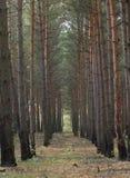 Foresta di Pinetree fotografia stock