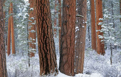 Foresta di Ponderosa in neve fotografia stock