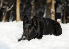 Foresta di seduta della neve della natura di inverno del cane nero fotografia stock libera da diritti