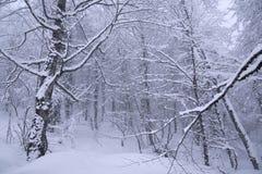 Foresta di Snowy sul pendio del nord Aibga Ridge Western Caucasus Fotografie Stock Libere da Diritti