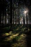 Foresta di Sun Immagine Stock