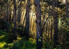 Foresta di tramonto Fotografia Stock Libera da Diritti