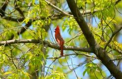 Foresta di In An Upland del cardinale di canto fotografie stock