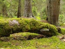 Foresta di Virgin Immagini Stock