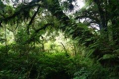 Foresta di Virgin, alberi con l'edera Fotografia Stock